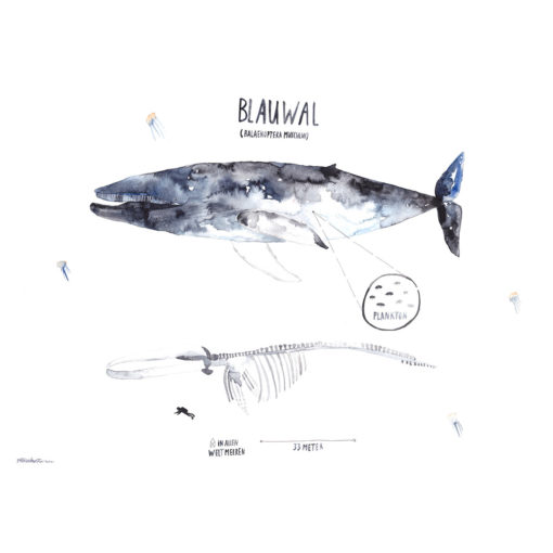 Blauwal (1)